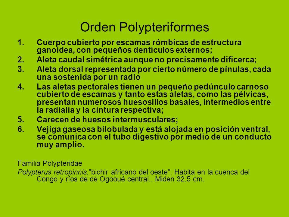 Orden Polypteriformes 1.Cuerpo cubierto por escamas rómbicas de estructura ganoidea, con pequeños dentículos externos; 2.Aleta caudal simétrica aunque