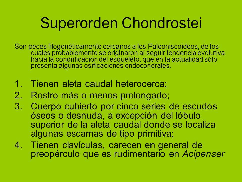 Superorden Chondrostei Son peces filogenéticamente cercanos a los Paleoniscoideos, de los cuales probablemente se originaron al seguir tendencia evolu