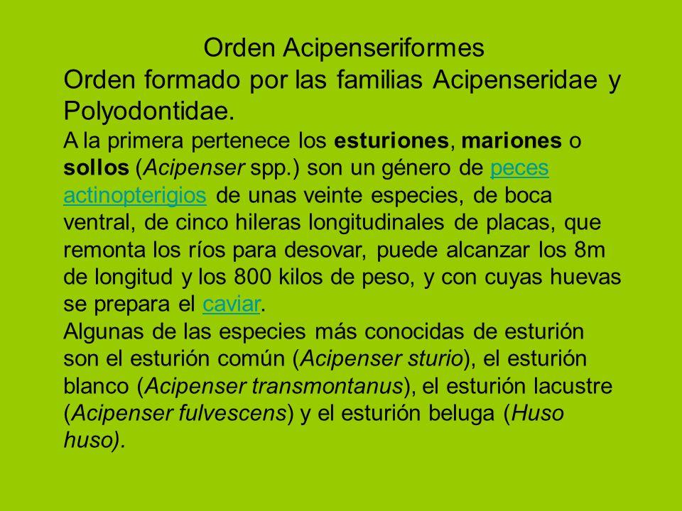 Orden Acipenseriformes Orden formado por las familias Acipenseridae y Polyodontidae. A la primera pertenece los esturiones, mariones o sollos (Acipens
