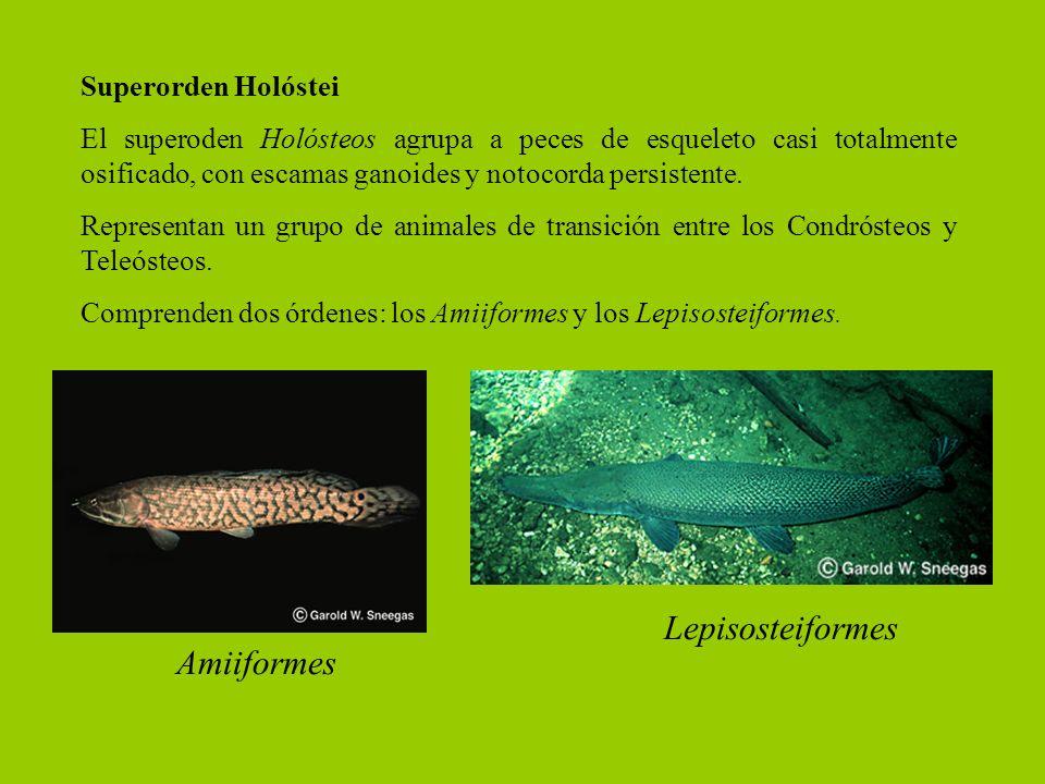 Superorden Holóstei El superoden Holósteos agrupa a peces de esqueleto casi totalmente osificado, con escamas ganoides y notocorda persistente. Repres