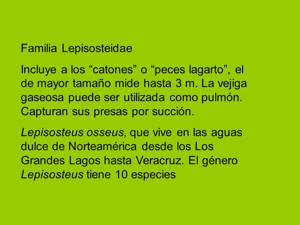 Familia Lepisosteidae Incluye a los catones o peces lagarto, el de mayor tamaño mide hasta 3 m. La vejiga gaseosa puede ser utilizada como pulmón. Cap