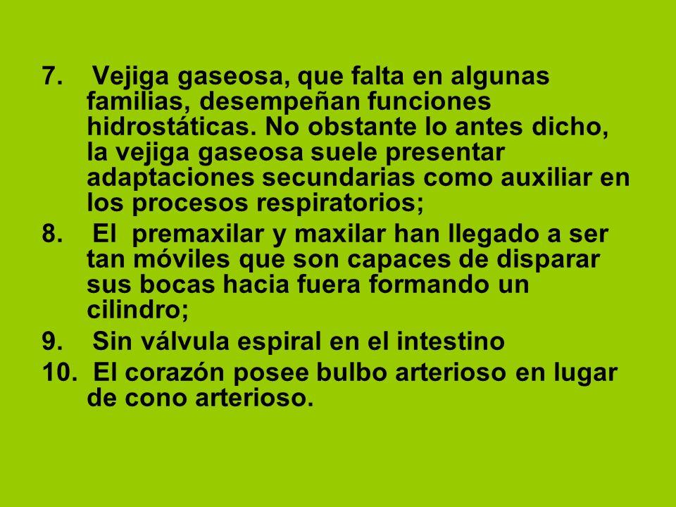 7. Vejiga gaseosa, que falta en algunas familias, desempeñan funciones hidrostáticas. No obstante lo antes dicho, la vejiga gaseosa suele presentar ad