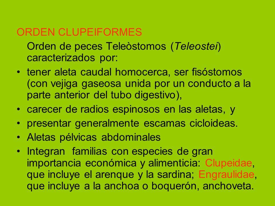 ORDEN CLUPEIFORMES Orden de peces Teleòstomos (Teleostei) caracterizados por: tener aleta caudal homocerca, ser fisóstomos (con vejiga gaseosa unida p