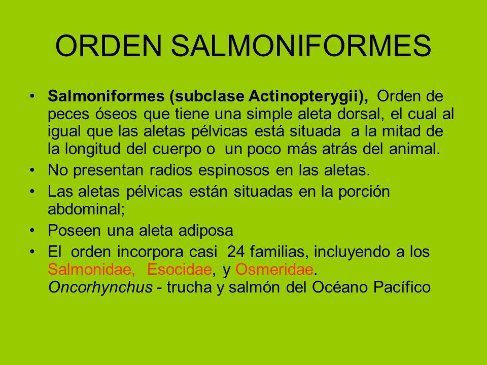 ORDEN SALMONIFORMES Salmoniformes (subclase Actinopterygii), Orden de peces óseos que tiene una simple aleta dorsal, el cual al igual que las aletas p