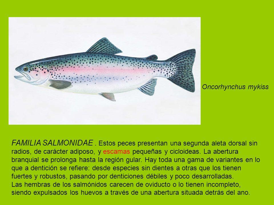 FAMILIA SALMONIDAE. Estos peces presentan una segunda aleta dorsal sin radios, de carácter adiposo, y escamas pequeñas y cicloideas. La abertura branq