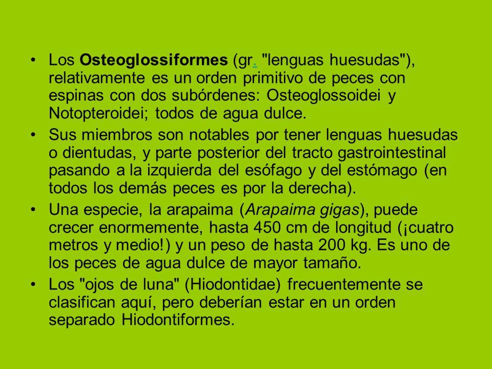 Los Osteoglossiformes (gr.
