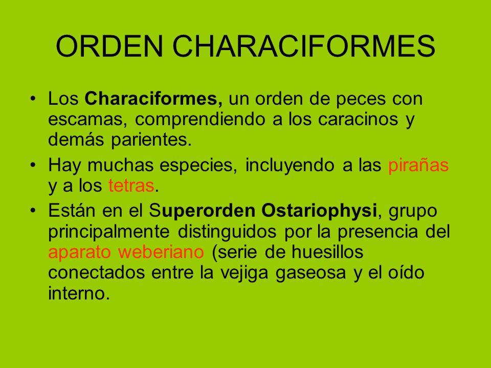 ORDEN CHARACIFORMES Los Characiformes, un orden de peces con escamas, comprendiendo a los caracinos y demás parientes. Hay muchas especies, incluyendo