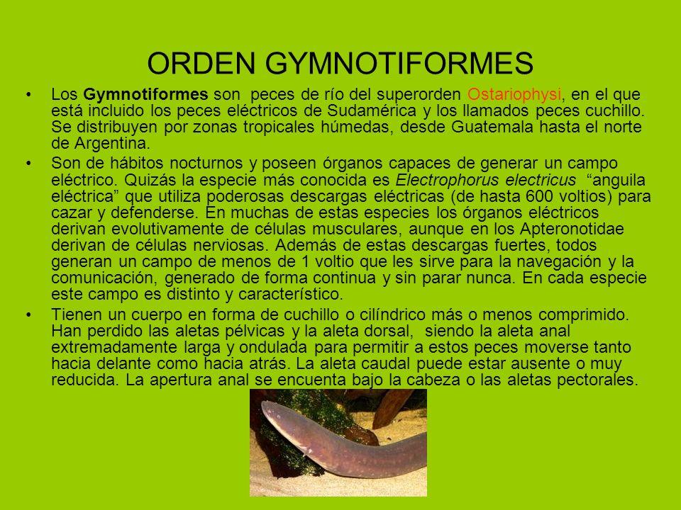 ORDEN GYMNOTIFORMES Los Gymnotiformes son peces de río del superorden Ostariophysi, en el que está incluido los peces eléctricos de Sudamérica y los l