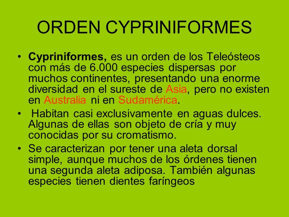 ORDEN CYPRINIFORMES Cypriniformes, es un orden de los Teleósteos con más de 6.000 especies dispersas por muchos continentes, presentando una enorme di