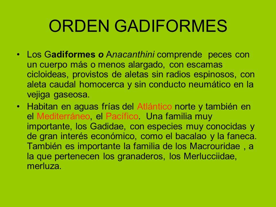 ORDEN GADIFORMES Los Gadiformes o Anacanthini comprende peces con un cuerpo más o menos alargado, con escamas cicloideas, provistos de aletas sin radi
