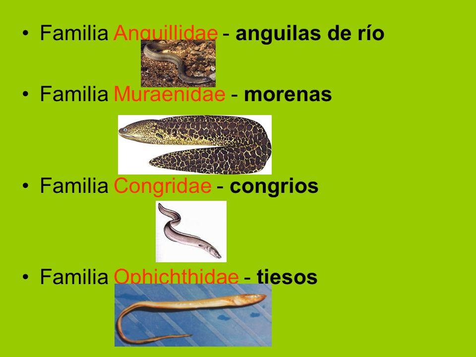 Familia Anguillidae - anguilas de río Familia Muraenidae - morenas Familia Congridae - congrios Familia Ophichthidae - tiesos