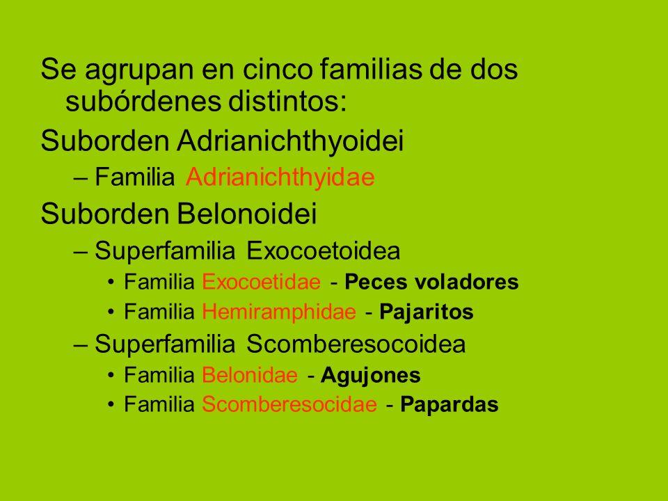 Se agrupan en cinco familias de dos subórdenes distintos: Suborden Adrianichthyoidei –Familia Adrianichthyidae Suborden Belonoidei –Superfamilia Exoco