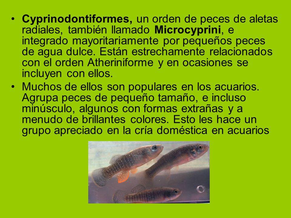 Cyprinodontiformes, un orden de peces de aletas radiales, también llamado Microcyprini, e integrado mayoritariamente por pequeños peces de agua dulce.