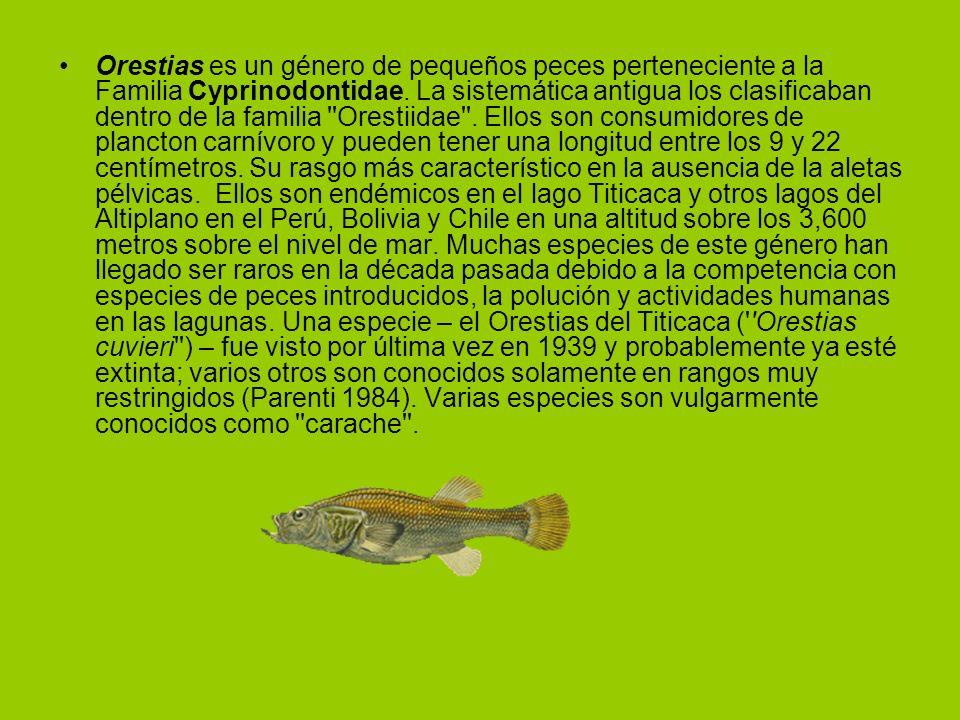 Orestias es un género de pequeños peces perteneciente a la Familia Cyprinodontidae. La sistemática antigua los clasificaban dentro de la familia ''Ore
