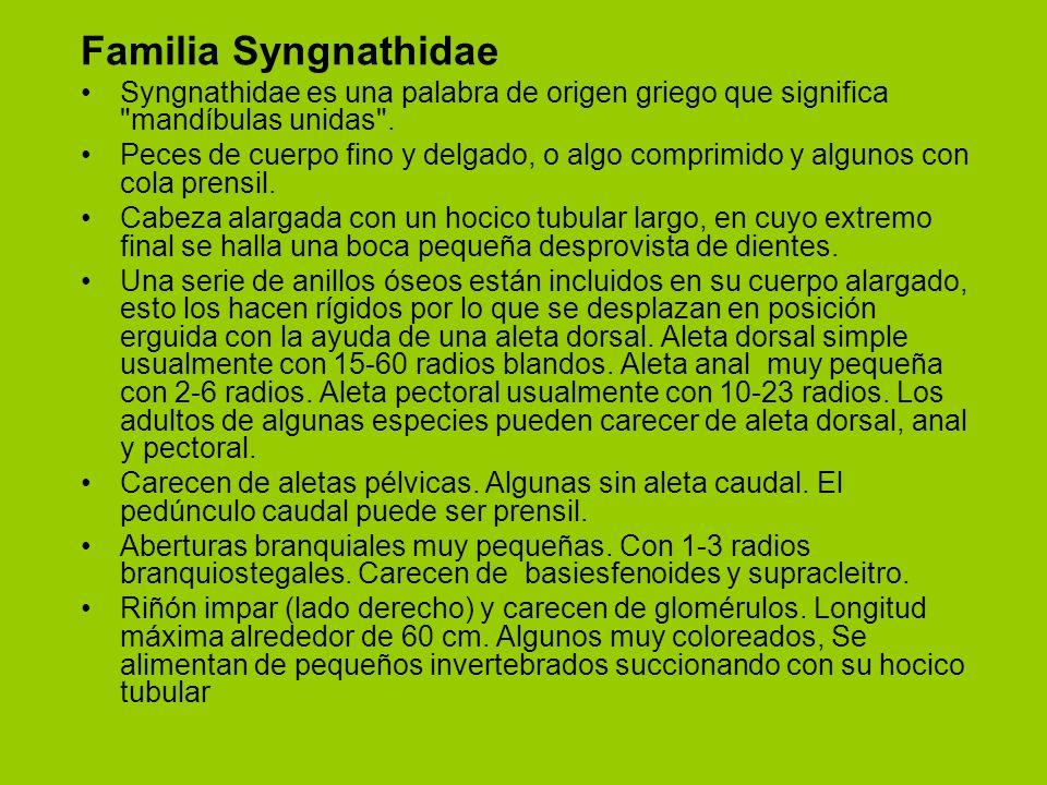 Familia Syngnathidae Syngnathidae es una palabra de origen griego que significa