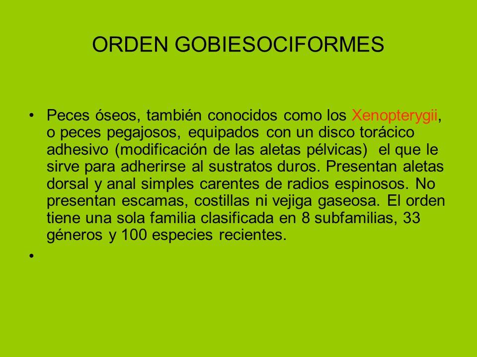 ORDEN GOBIESOCIFORMES Peces óseos, también conocidos como los Xenopterygii, o peces pegajosos, equipados con un disco torácico adhesivo (modificación