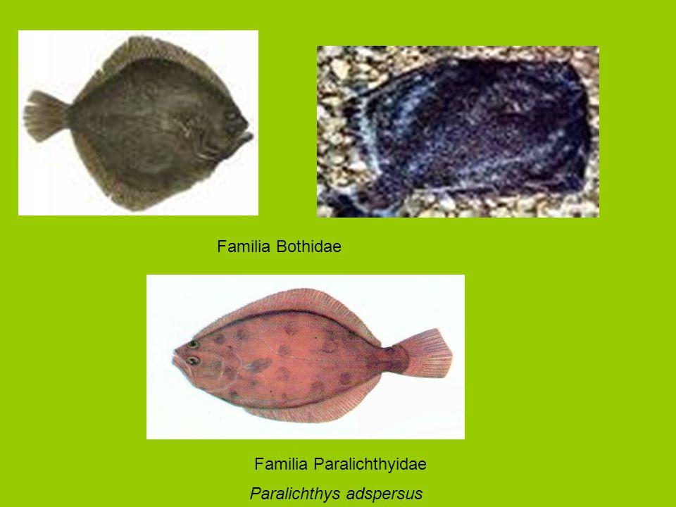 Familia Bothidae Paralichthys adspersus Familia Paralichthyidae