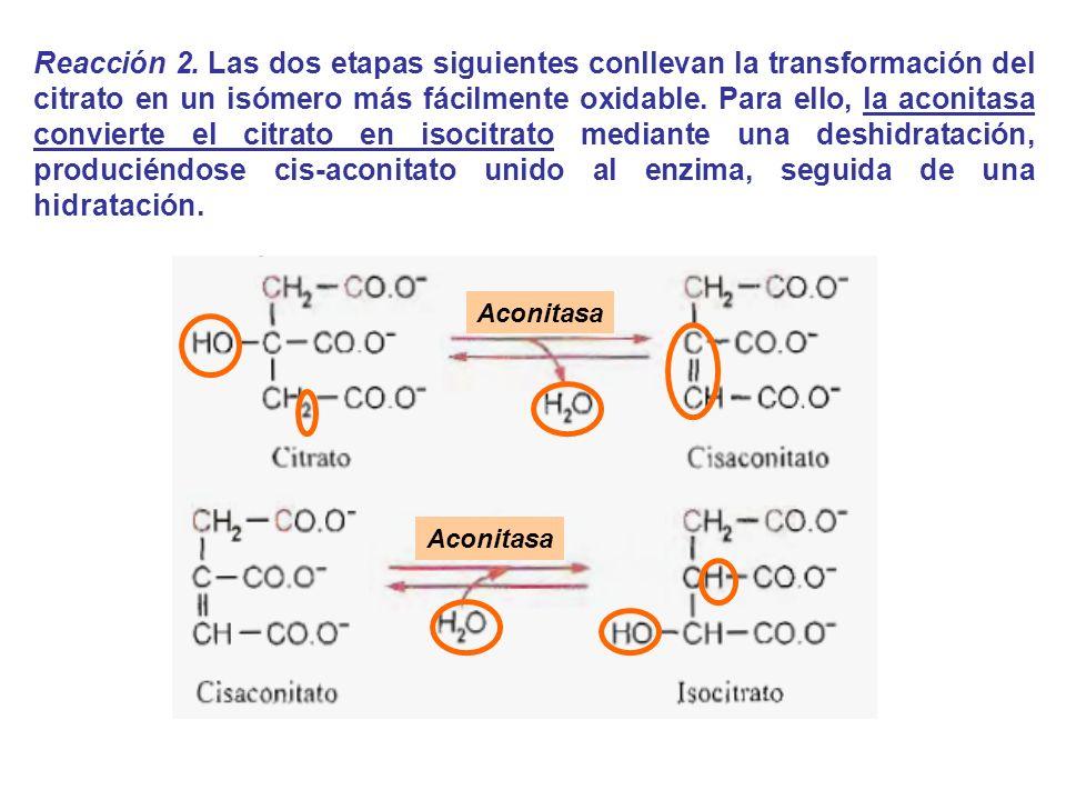 Aconitasa Reacción 2. Las dos etapas siguientes conllevan la transformación del citrato en un isómero más fácilmente oxidable. Para ello, la aconitasa