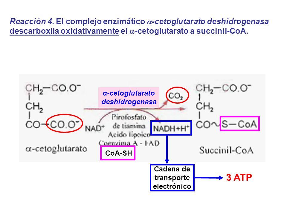 α-cetoglutarato deshidrogenasa Reacción 4. El complejo enzimático -cetoglutarato deshidrogenasa descarboxila oxidativamente el -cetoglutarato a succin