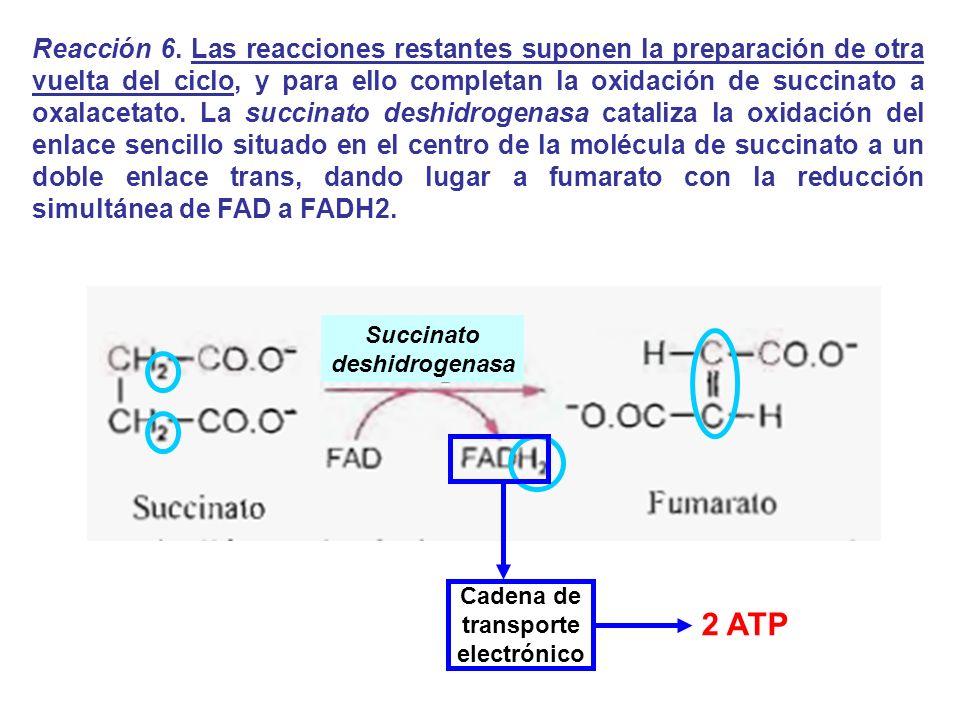Reacción 6. Las reacciones restantes suponen la preparación de otra vuelta del ciclo, y para ello completan la oxidación de succinato a oxalacetato. L