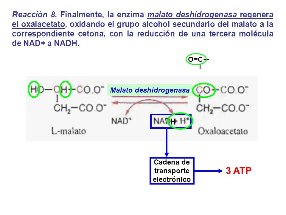 Malato deshidrogenasa H Reacción 8. Finalmente, la enzima malato deshidrogenasa regenera el oxalacetato, oxidando el grupo alcohol secundario del mala