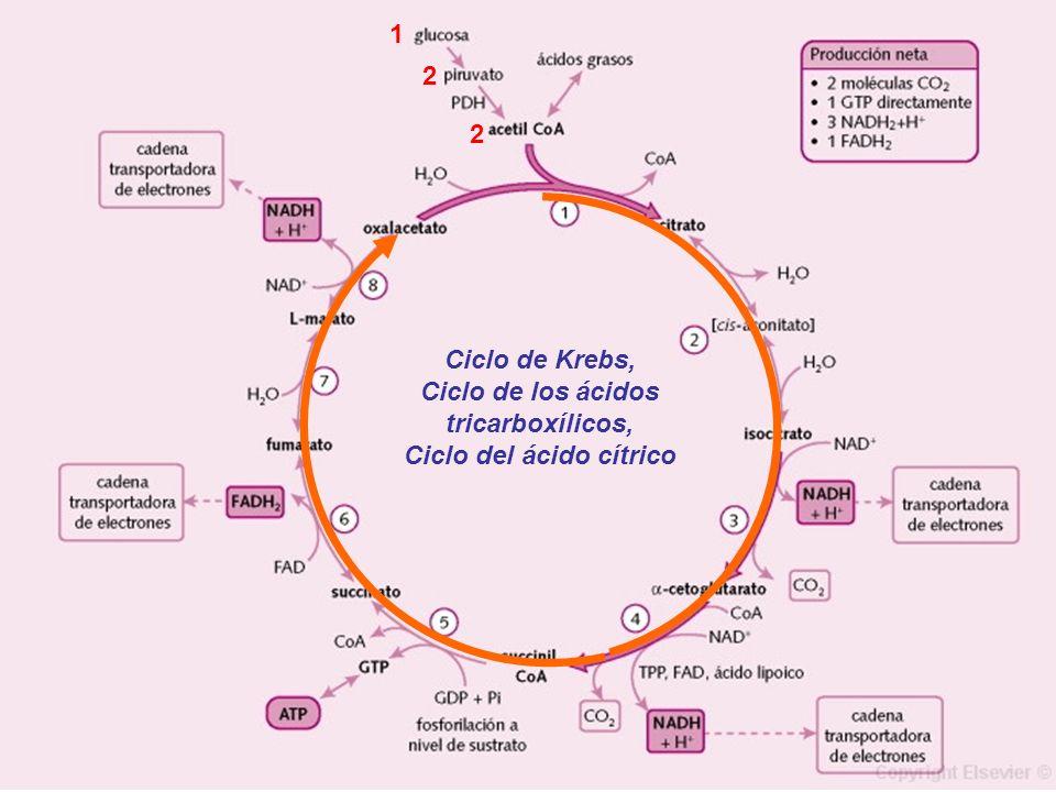 Ciclo de Krebs, Ciclo de los ácidos tricarboxílicos, Ciclo del ácido cítrico 1 2 2