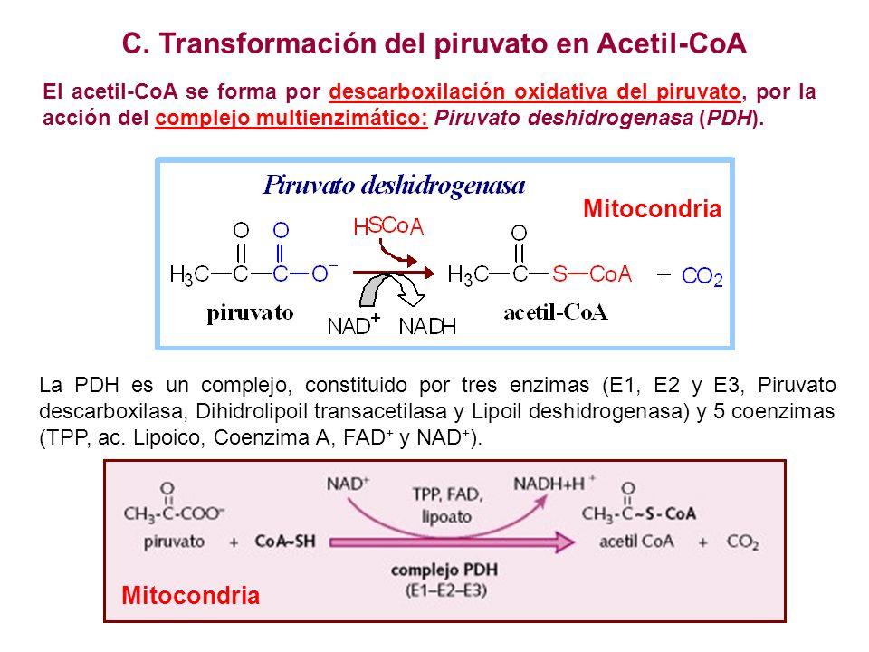 Piruvato descar- boxilasa Dihidrolipoil transacetilasa Lipoil deshidrogenasa Piruvato descarboxilasa Dihidrolipoil transacetilasa Hidroxietil-PPT El grupo acetilo esta unido al grupo sulfhidrilo del CoA por un enlace tioéster.