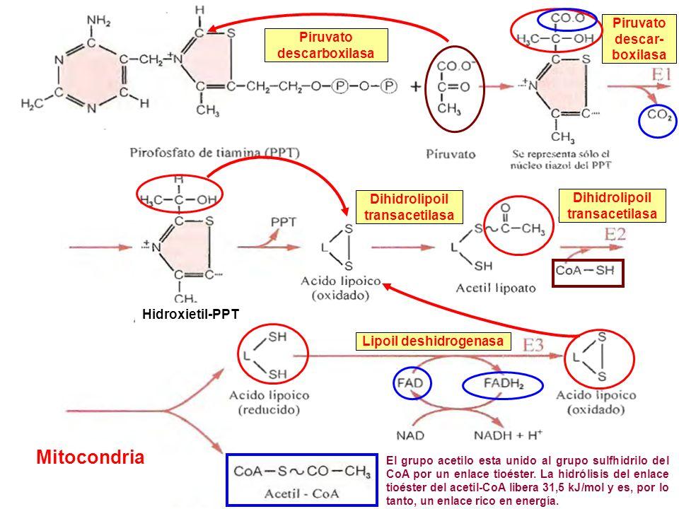Piruvato descar- boxilasa Dihidrolipoil transacetilasa Lipoil deshidrogenasa Piruvato descarboxilasa Dihidrolipoil transacetilasa Hidroxietil-PPT El g