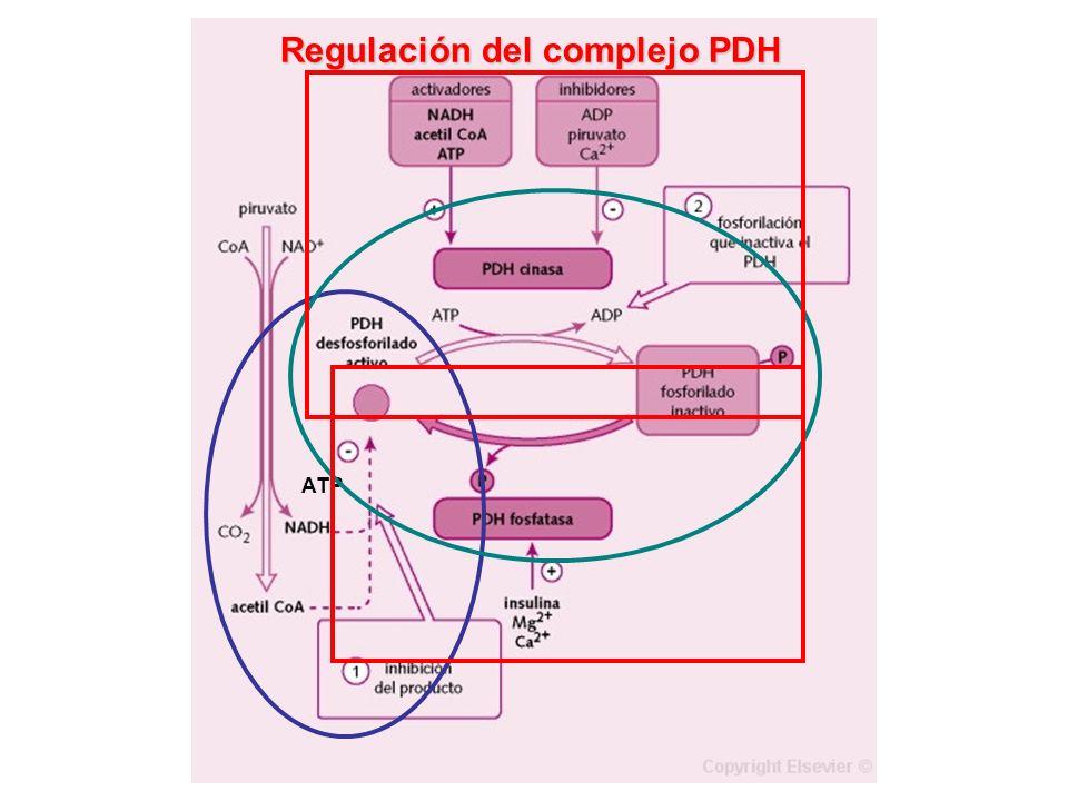 GLUCOSA (6C) 2 PIRUVATO (3C) VG O2O2 4 CO 2 + 4 H 2 O Ciclo de Krebs 2 PIRUVATO 2 Acetil-CoA PDH 2 NAD + 2 NADH+H + CoA-SH CO 2