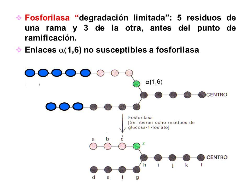 Fosforilasa degradación limitada: 5 residuos de una rama y 3 de la otra, antes del punto de ramificación. Enlaces 1,6) no susceptibles a fosforilasa (