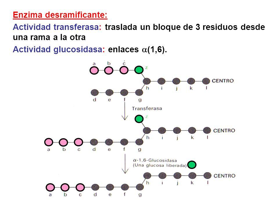 Enzima desramificante: Actividad transferasa: traslada un bloque de 3 residuos desde una rama a la otra Actividad glucosidasa: enlaces (1,6).