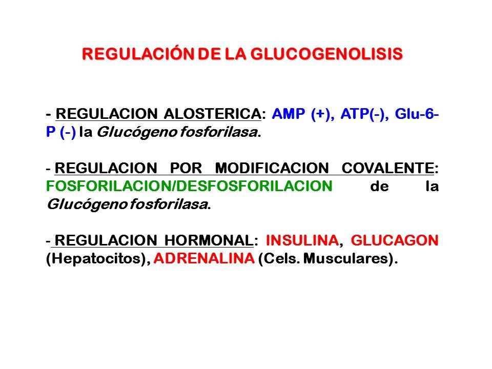 REGULACIÓN DE LA GLUCOGENOLISIS - REGULACION ALOSTERICA: AMP (+), ATP(-), Glu-6- P (-) la Glucógeno fosforilasa. - REGULACION POR MODIFICACION COVALEN