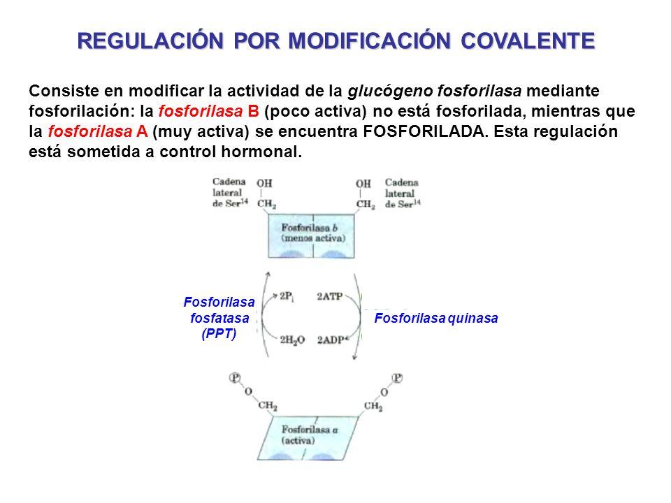 REGULACIÓN POR MODIFICACIÓN COVALENTE Consiste en modificar la actividad de la glucógeno fosforilasa mediante fosforilación: la fosforilasa B (poco ac