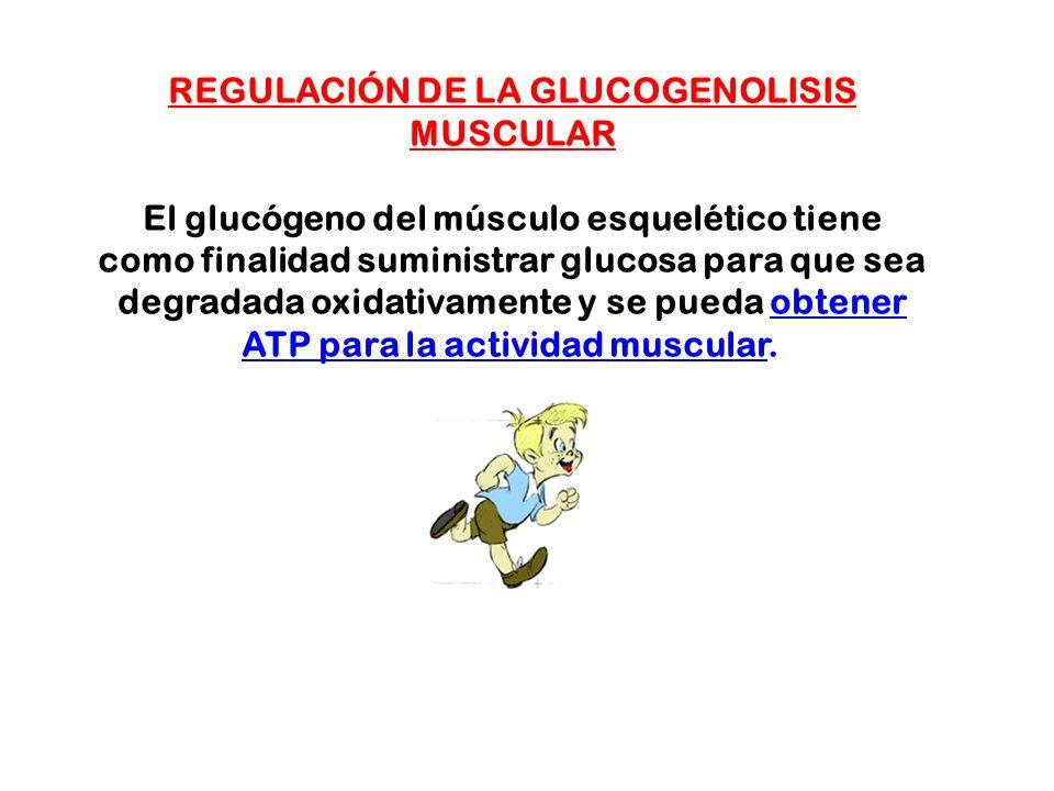 REGULACIÓN DE LA GLUCOGENOLISIS MUSCULAR El glucógeno del músculo esquelético tiene como finalidad suministrar glucosa para que sea degradada oxidativ