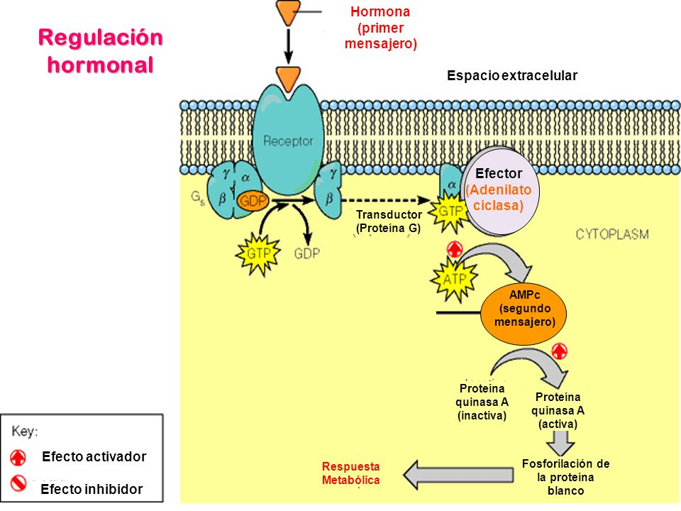 Regulación hormonal Hormona (primer mensajero) Espacio extracelular Transductor (Proteína G) AMPc (segundo mensajero) Efector (Adenilato ciclasa) Prot