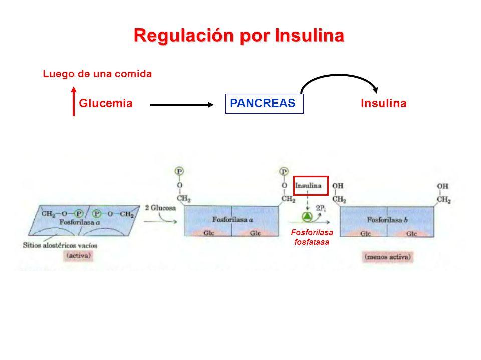 Regulación por Insulina Glucemia PANCREAS Insulina Fosforilasa fosfatasa Luego de una comida
