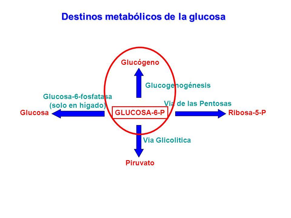 GLUCOSA-6-P Destinos metabólicos de la glucosa Glucogenogénesis Glucógeno Via de las Pentosas Ribosa-5-P Piruvato Via Glicolitica Glucosa Glucosa-6-fo