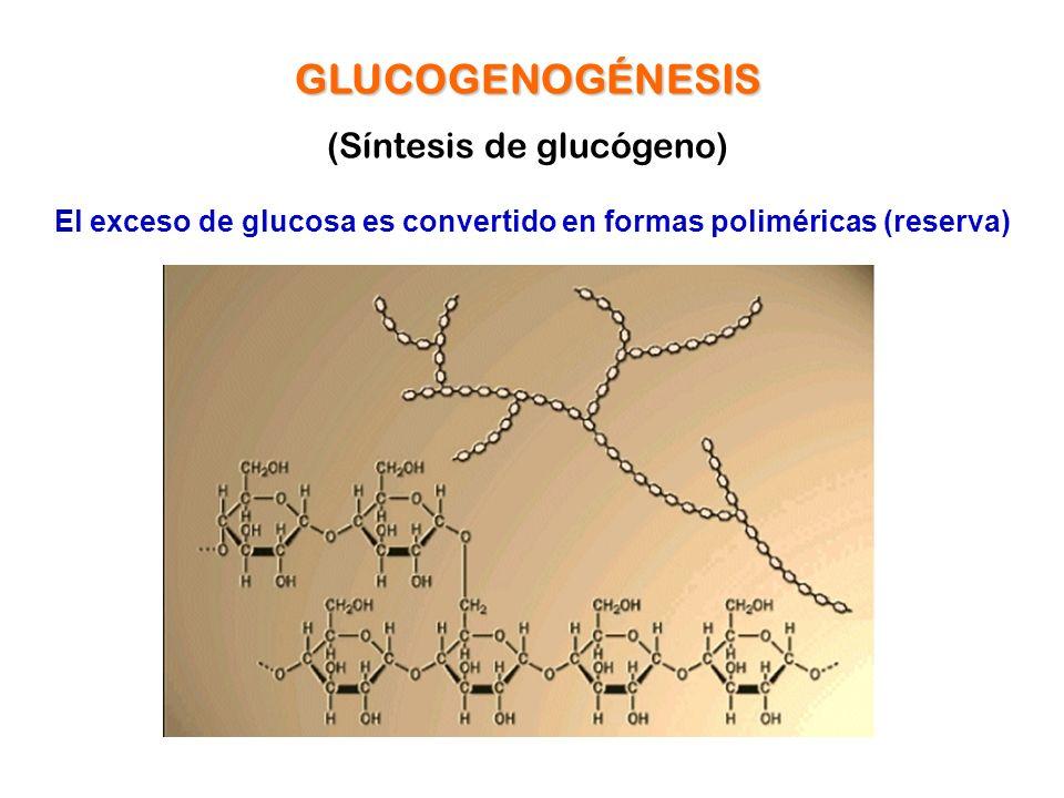 GLUCOGENOGÉNESIS (Síntesis de glucógeno) El exceso de glucosa es convertido en formas poliméricas (reserva)