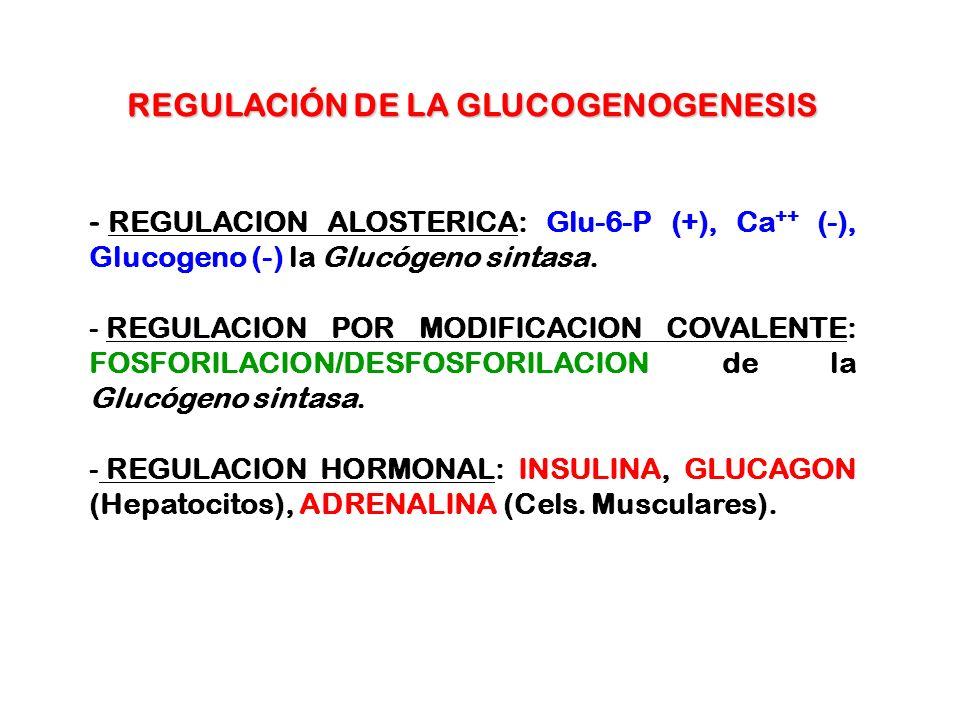 REGULACIÓN DE LA GLUCOGENOGENESIS - REGULACION ALOSTERICA: Glu-6-P (+), Ca ++ (-), Glucogeno (-) la Glucógeno sintasa. - REGULACION POR MODIFICACION C