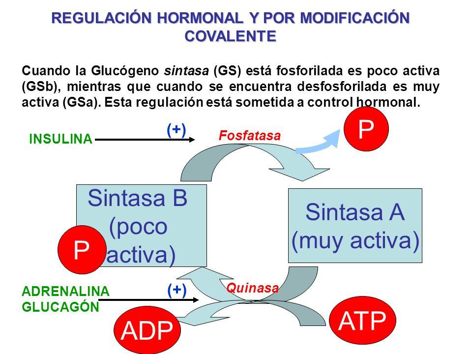 REGULACIÓN HORMONAL Y POR MODIFICACIÓN COVALENTE Cuando la Glucógeno sintasa (GS) está fosforilada es poco activa (GSb), mientras que cuando se encuen