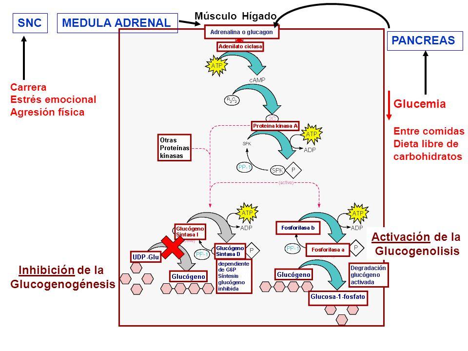 Hígado Glucemia Entre comidas Dieta libre de carbohidratos PANCREAS Carrera Estrés emocional Agresión física SNCMEDULA ADRENAL Inhibición de la Glucog