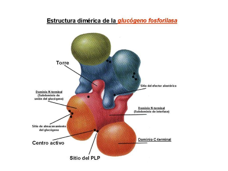 Polimerización: adición de las unidades de glucosa Glucógeno sintasa