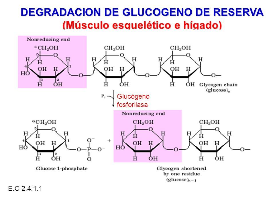 DEGRADACION DE GLUCOGENO DE RESERVA (Músculo esquelético e hígado) Glucógeno fosforilasa E.C 2.4.1.1