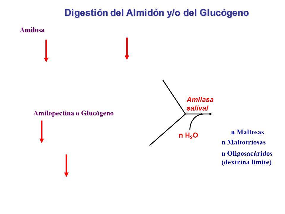 Amilosa Amilopectina o Glucógeno n Maltosas n Maltotriosas n Oligosacáridos (dextrina límite) Digestión del Almidón y/o del Glucógeno Amilasa salival