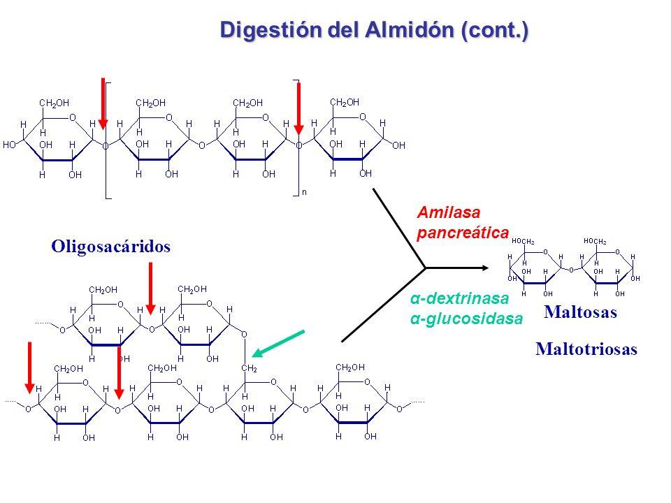 Amilasa pancreática Maltosas Maltotriosas Oligosacáridos Digestión del Almidón (cont.) α-dextrinasa α-glucosidasa
