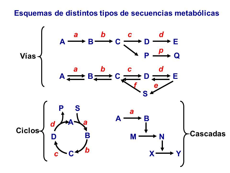 Esquemas de distintos tipos de secuencias metabólicas A B a C b DE cd PQ p ABCDE abcd A B C b a S D c d P AB a MN YX S ef VíasCiclos Cascadas