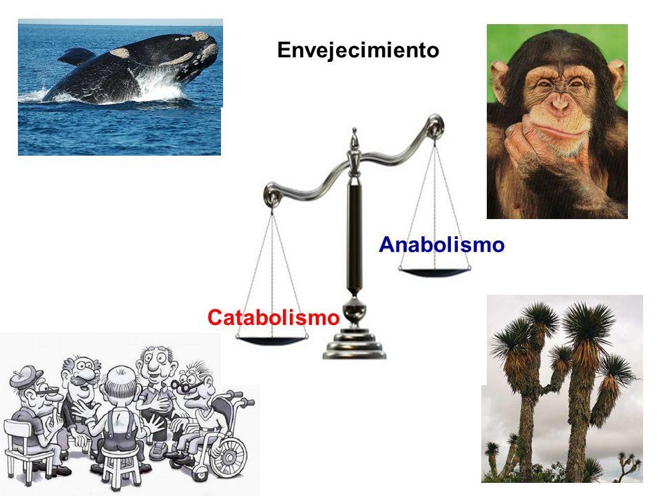Envejecimiento Anabolismo Catabolismo