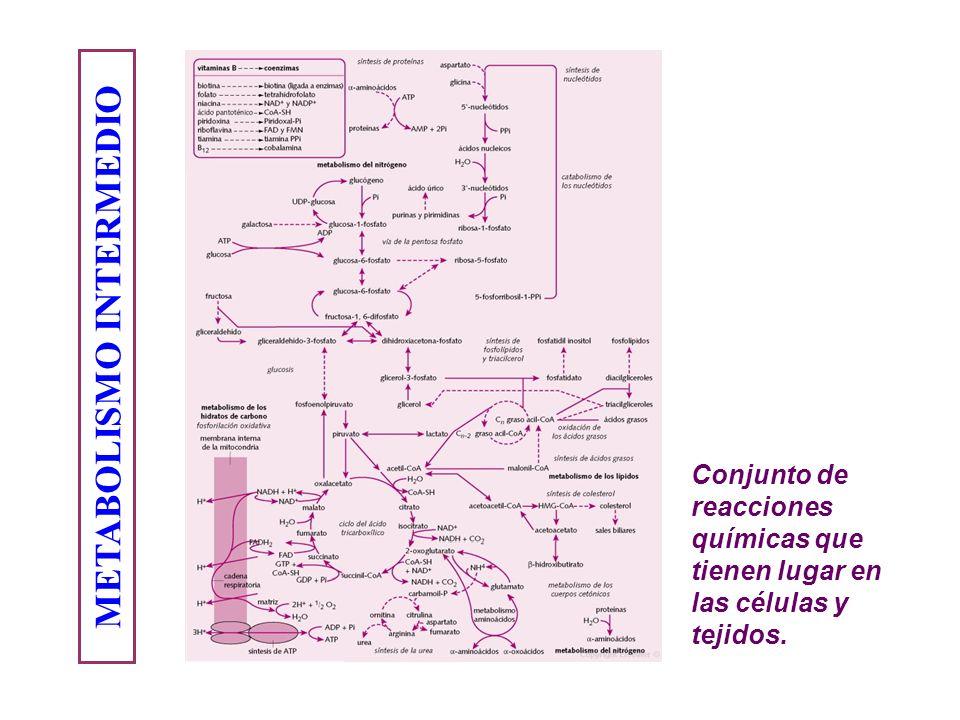 METABOLISMO INTERMEDIO Conjunto de reacciones químicas que tienen lugar en las células y tejidos.