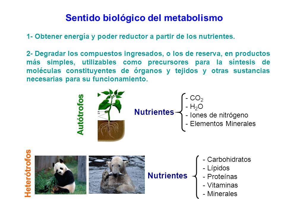 Sentido biológico del metabolismo 1- Obtener energía y poder reductor a partir de los nutrientes. 2- Degradar los compuestos ingresados, o los de rese