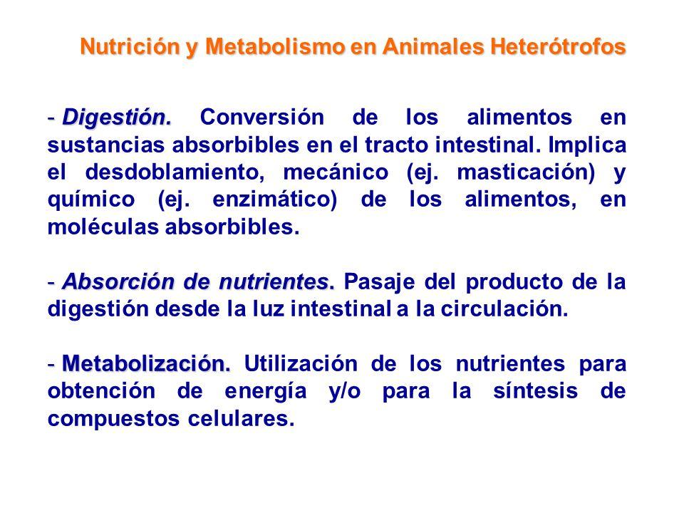 Nutrición y Metabolismo en Animales Heterótrofos - Digestión. - Digestión. Conversión de los alimentos en sustancias absorbibles en el tracto intestin
